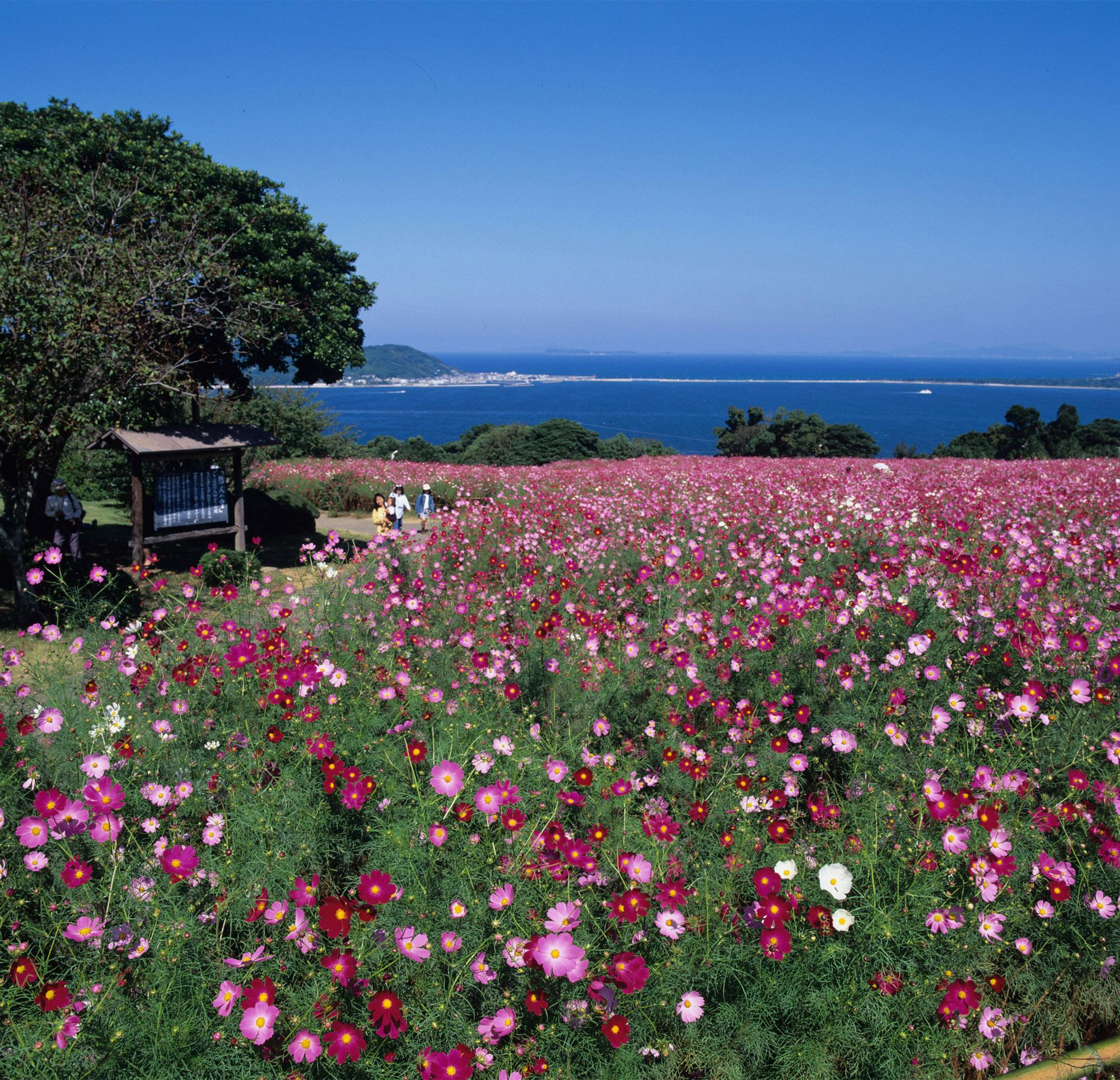 能古島こすもすのコピー